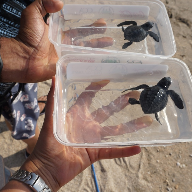 Our baby sea turtles